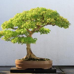 Trident_Maple_bonsai_52,_October_10,_2008