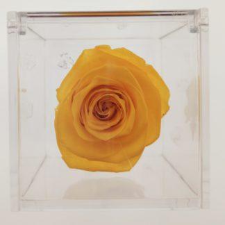 Rosa Cube Gialla cm 8x8